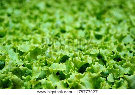 Detail on lettuce leves ready to be cultivated. Abstract green leafs background