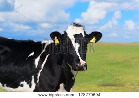 Dutch cow in green meadows