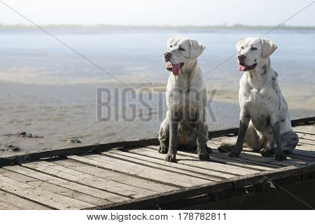 two dirty labrador retriever dogs sitting on the beach close to the water