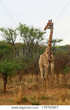 Giraffe on African Safari Standing Taller than Trees