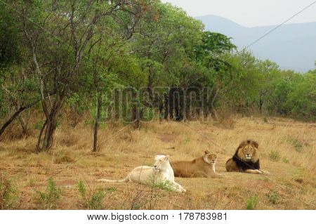 Trio of Beautiful Lions in the African Savanna