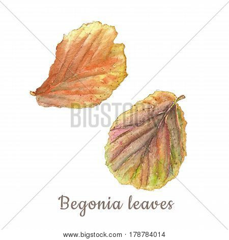 Botanical watercolor illustration of colorful begonia leaves on white background. Could be used as decoration for web design polygraphy or textile