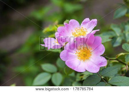 Flower of dog-rose closeup on green garden background