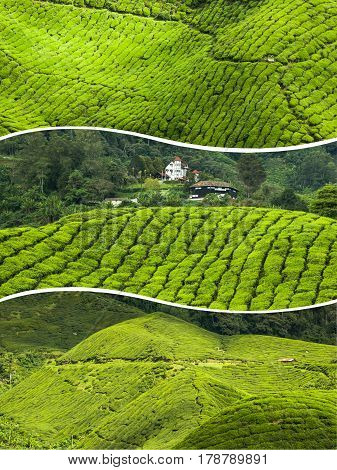 Collage of Malaysia,tea plantation in Cameron highlands.