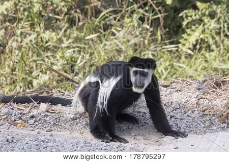 Black and white colobus monkey eating minerals from gravel on road Kibale National Park Uganda.