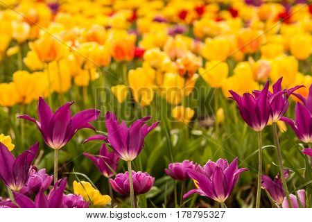 Purple foreground tulips in focus, yellow in background blurred