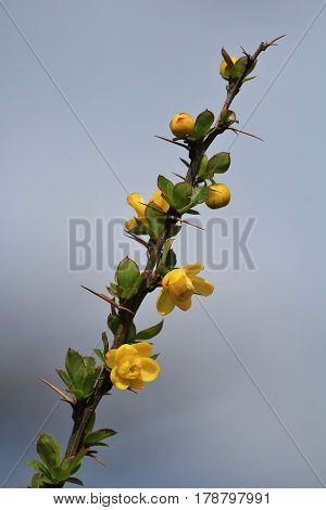 Thorny bush with little yellow flowers. Growing in Khumjung Everest National Park Nepal.
