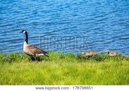 A Canada Goose and her goslings walk along the shore at Chatham on Cape Cod Massachusetts.