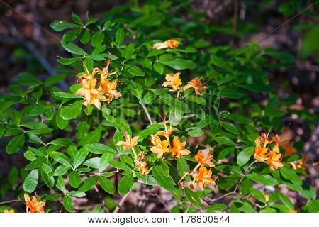 Wild Flame Azaleas (Rhododendron calendulaceum) blooming in the woods of Tennessee