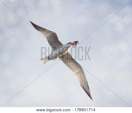 Caspian Tern with a fish in flight