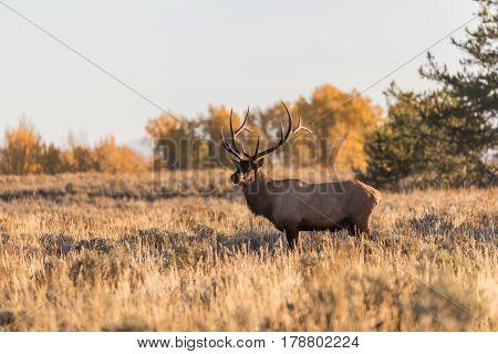 a rutting bull elk in autumn in Wyoming