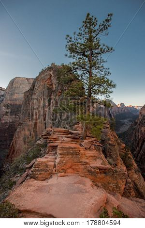 Tree Grows Along Trail To Angels Landing
