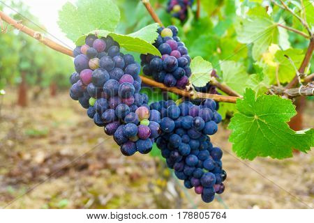 Close up vine grapes in champagne region in autumn harvest Reims France