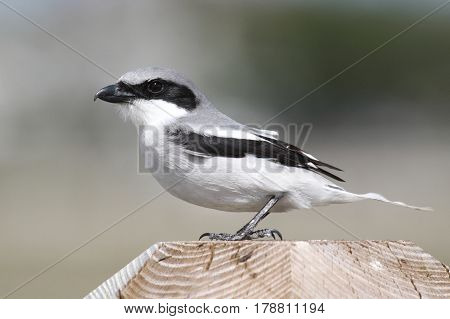 Loggerhead Shrike (Lanius ludovicianus) hunting for birds from a perch in the Florida Everglades