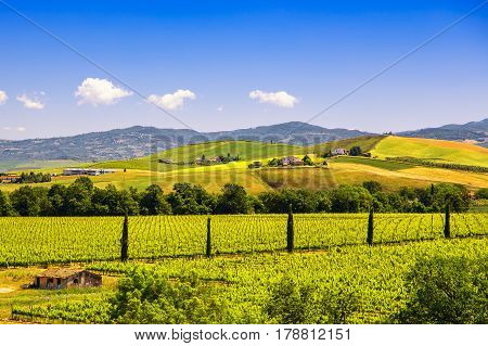 Montalcino countryside vineyard cypress trees and green fields. Tuscany Italy Europe.