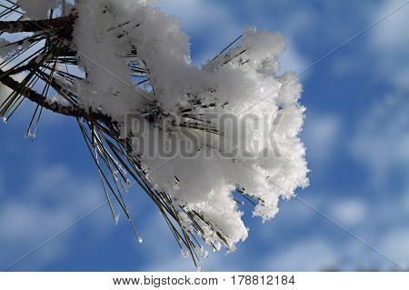 Closeup of a Pine Bough Covered in Snow Against a Blue Sky