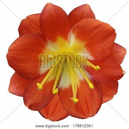 lily orange flower isolated with clipping path on a white background. yellow pistils stamens. Yellow center. for design. Closeup.