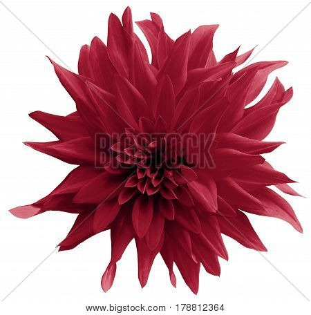 vinous flower. isolated on the white background with clipping path. Close-up. Shaggy yellow flower dahlia. Nature.