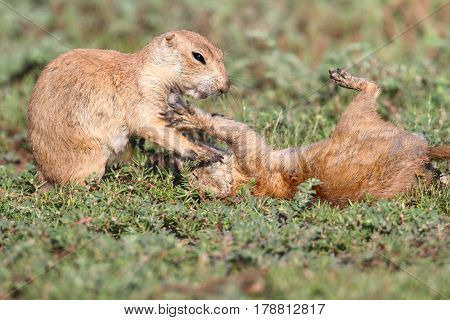 Black-tailed Prairie Dog (Cynomys ludovicianus) playing in the grass in Oklahoma