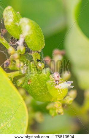Macro of a tiny patterned spider eating a small green fly.
