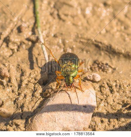 Macro of a vivid metalic ground beetle in the mud.
