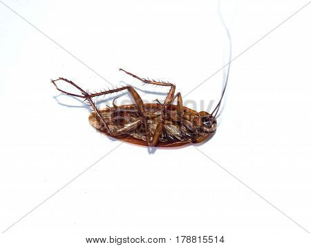 A Dead cockroach on isolated white background