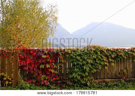 Travel To Sankt-wolfgang, Austria. The Wooden Fence With Green And Red Leaves Of Liana And With The