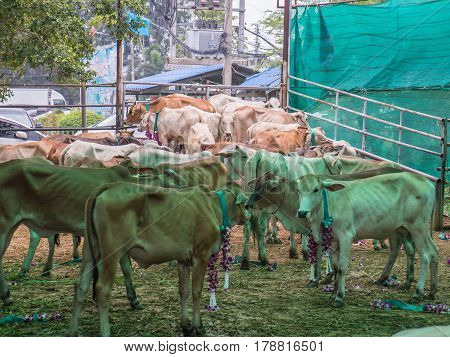 Release cattle at slaughterhouse to agriculture farm
