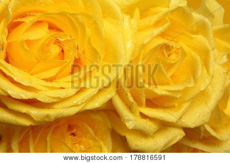 yellow rose petals with water drops close-up
