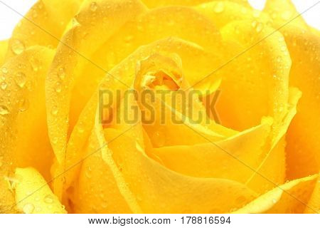 yellow rose with water drops close-up