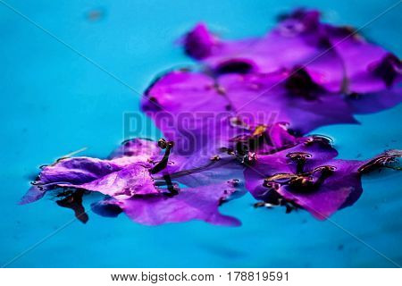 Bouganvillea flower floating in the water of a swimming pool