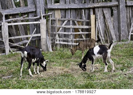 Wide view of three goats feeding on the grass in front of a grayed fences in Plymouth, Massachusetts on an overcast but bright day in September.