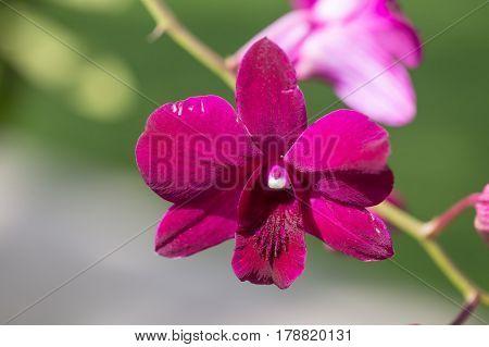 Red velvet orchid flower growing in the garden
