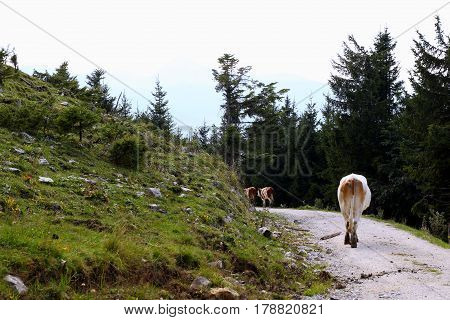 Travel To Sankt-wolfgang, Austria. The Walking Cows On The Mountains Road.