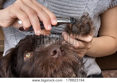 hands trimming toenails of dog with pet clipper