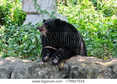 Animal and Wildlife Asian Black Bear Moon Bear and White Chested Bear Sitting in A Park.