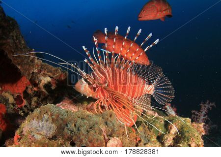 Lionfish and grouper fish on coral reef