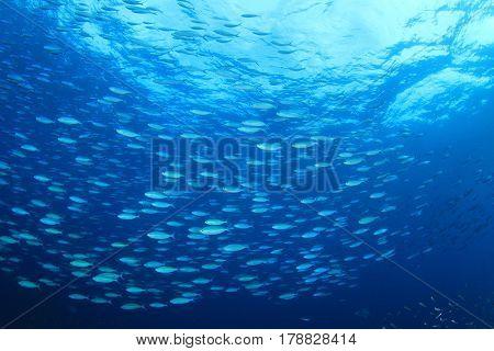 Sardines fish in sea