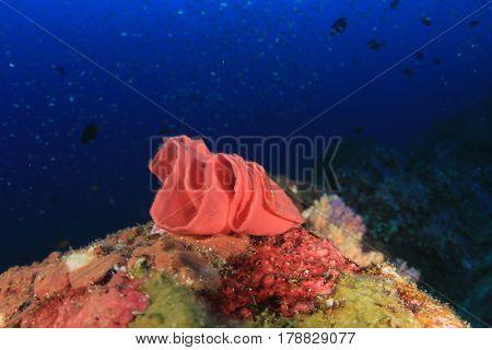 Eggs of Spanish Dancer nudibranch
