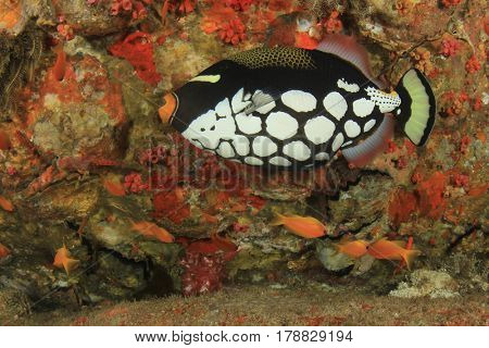 Clown Triggerfish tropical fish