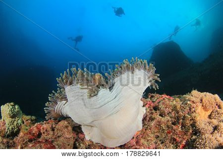 Scuba divers explore coral reef with anemonefish clownfish