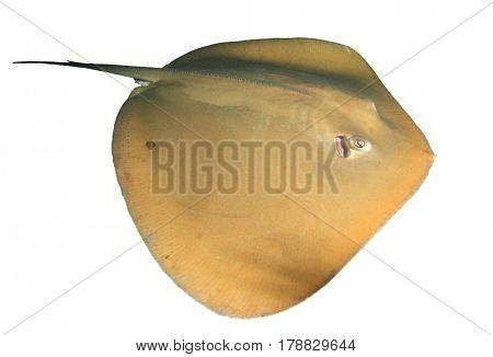 Stingray isolated on white background. Jenkin's Ray