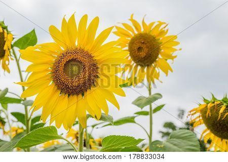 Sunflower at Khao Yai National Park in Thailand