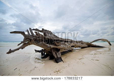 A big snag on the sandy shore of the ocean
