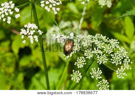 Green Rose Chafer Cetonia Aurata feeding on white flowers of Bishop's weed macro selective focus shallow DOF.