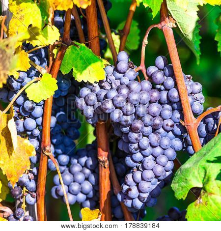 Ripe grape. Autumn harvest. Plantation of Piemonte, Italy