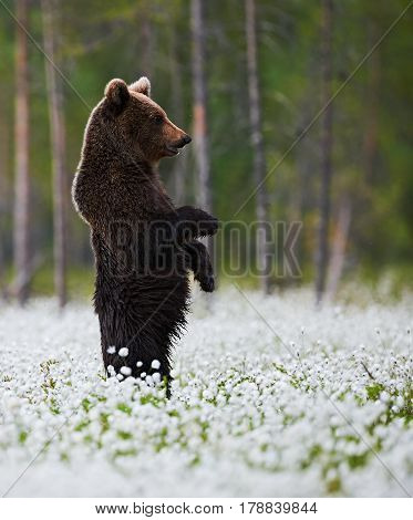 Brown Bear standing in the middle of the cotton grass in a Finnish swamp.