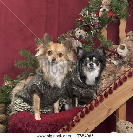 Chihuahuas posing, in christmas decorations