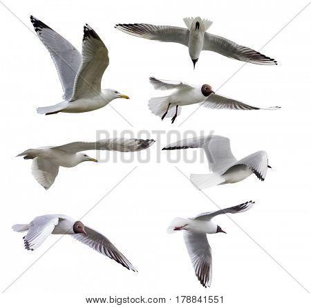 set of gulls isolated on white background