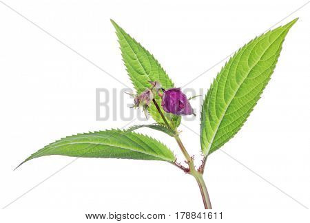 purple color flower isolated on white background
